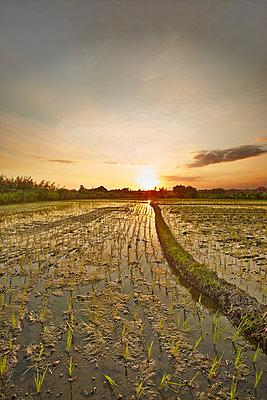 Reisfeld in der Abendsonne - p704m1476102 von Daniel Roos