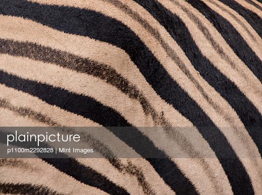 The stripes of a zebra, Equus quagga - p1100m2292828 by Mint Images