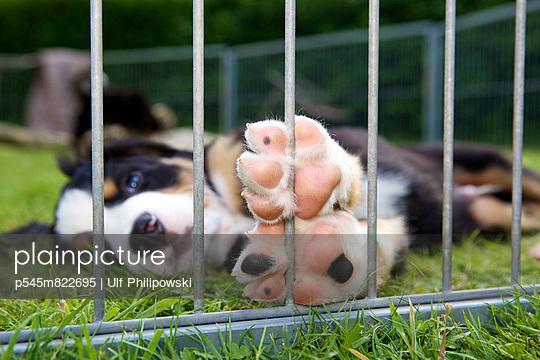 Berner Sennenhund - p545m822695 von Ulf Philipowski