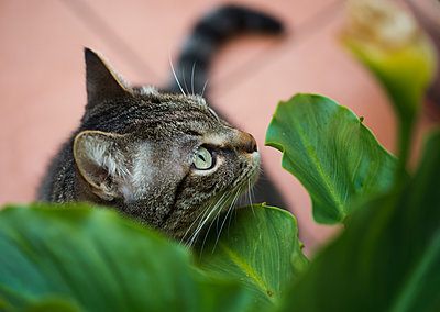Portrait of gray cat standing under green leaves - p300m2276326 by Ramon Espelt