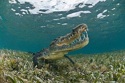 American crocodile  in clear waters of Caribbean, Chinchorro Banks , Quintana Roo, Mexico - p429m1021715f by Rodrigo Friscione