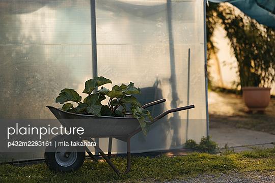 Frischer Rhabarber auf Schubkarre vor Gewächshaus - p432m2293161 von mia takahara