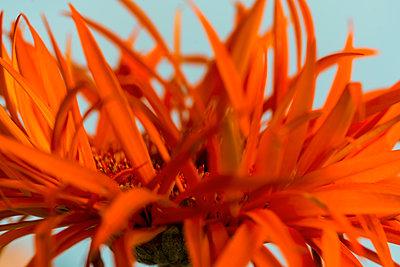Gerbera, Orange coloured petals - p427m2098826 by Ralf Mohr