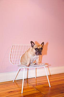 Französische Bulldogge sitzt auf Stuhl - p432m1480774 von mia takahara