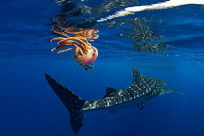 Whale shark (Rhincodon typus) swimming past a jellyfish (Thysanostoma loriferum), Honda Bay, Palawan, The Philippines, Southeast Asia - p871m2122913 by Duncan Murrell