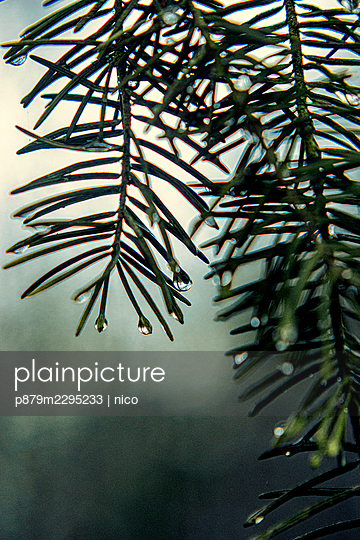 Raindrops on conifer - p879m2295233 by nico