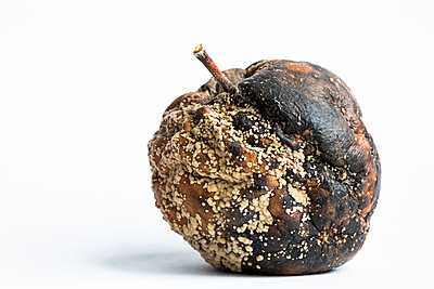 Studio close up of a single old mouldy apple on a white background. - p1057m2020701 by Stephen Shepherd