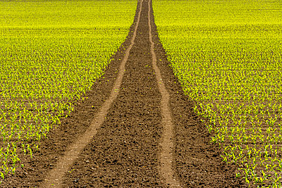 Tire tracks in the middle of a field of Corn. Auvergne. France - p813m1461151 by B.Jaubert