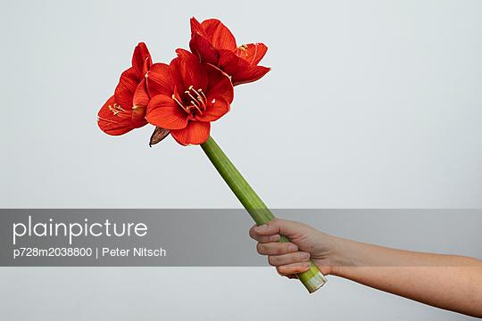 Amaryllis mit großen Blütenblättern - p728m2038800 von Peter Nitsch