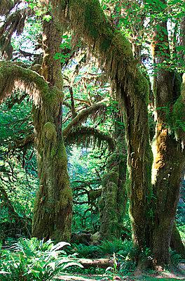 Hoh Rainforest - p0170100 von Kathrin Stange