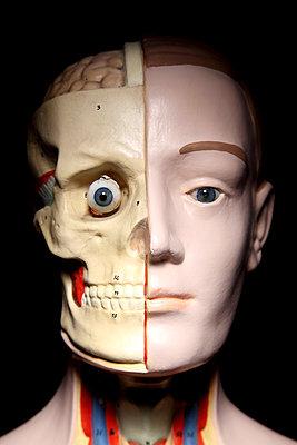 Anatomiemodell, Kopf frontal - p237m886624 von Thordis Rüggeberg