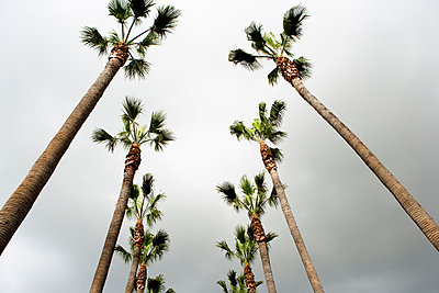 Looking up at two rows of palm trees, Los Angeles, California. - p343m964854 by Ron Koeberer