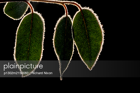 Three backlit green Eucalyptus leaves rimmed with crystals of frost. - p1302m2150083 by Richard Nixon