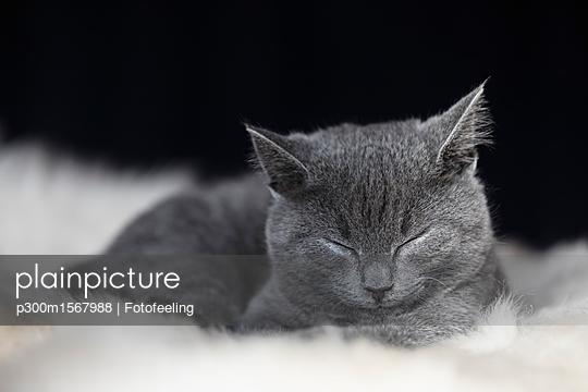 Portrait of sleeping Chartreux kitten lying on fur - p300m1567988 by Fotofeeling