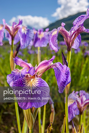A perennial Iris and it's deep purple petals photographed on the Palmer Hayflats with blue sky and mountains in the background, South-central Alaska; Eklutna, Alaska, United States of America - p442m2058079 by Kevin G. Smith