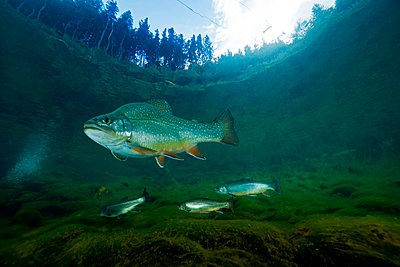Austria, Styria, char and rainbow trouts in Lake Grueblsee - p300m1460128 by Gerald Nowak