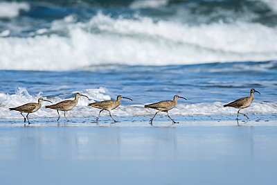 Whimbrels (Numenius phaeopus) look for sand crabs on the beach in Oregon; Newport, Oregon, United States of America - p442m1449213 by Robert L. Potts