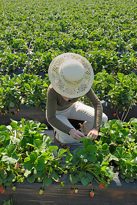 Woman picking strawberries in field elevated view - p555m1419214 by Chris Sattlberger