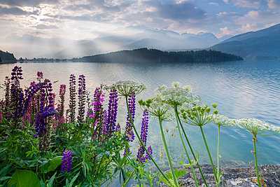 The multi coloured lupins frame the calm water of Lake Sils at dawn, Maloja, canton of Graubunden, Engadine, Switzerland, Europe - p871m1478762 by Roberto Moiola