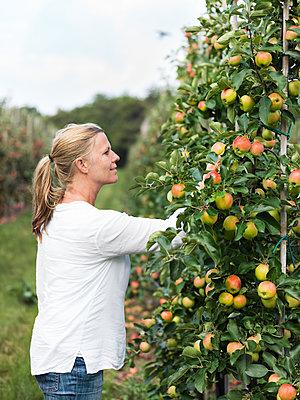 Woman picking apples - p312m1557235 by Michael Jonsson
