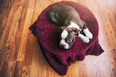 High angle view of Boston Terrier puppy lying on purple blanket - p429m1084543 by Rebecca Nelson