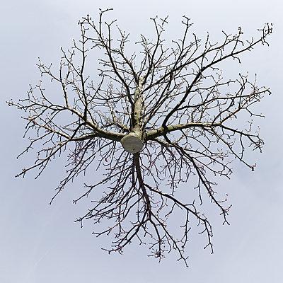 Horse chestnut from below - p824m2116929 by jochen leisinger