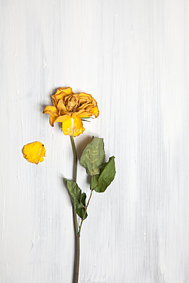 Withered yellow rose with loose petal  - p1248m1538599 by miguel sobreira