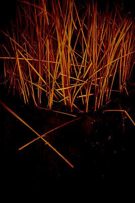 Manchurian wild rice in water (Hydropyrum latifolium) - p1028m2230449 by Jean Marmeisse
