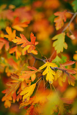 Close-up of leaves on branches during autumn - p1166m1547080 by Cavan Images