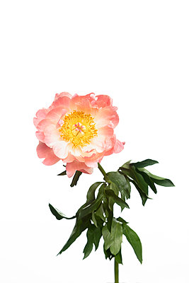 Peony flower in front of white background - p919m2193268 by Beowulf Sheehan