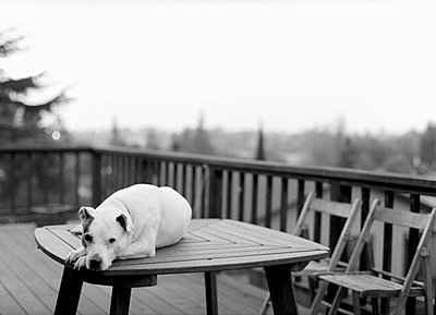White pitbull laying on a table on a deck in Oakland Hills 2005 - p3312932 by Alexis Lagos Levesque