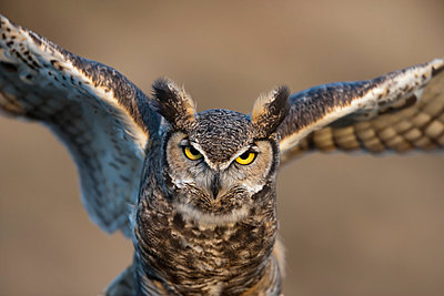 great-horned owl (bubo virginianus) flapping wings; wyoming, united states of america - p44213227f by David Ponton