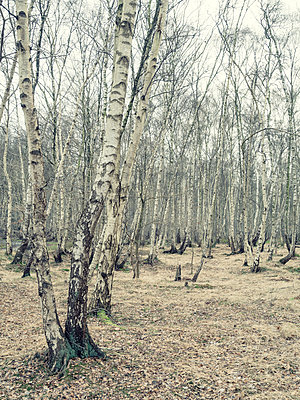 Birches - p536m1214913 by Schiesswohl