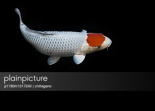 Japanischer Koi mit roter Stirn - p1180m1017240 von chillagano