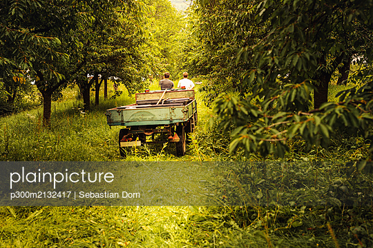 Two people with tractor transporting harvested cherries in orchard - p300m2132417 by Sebastian Dorn