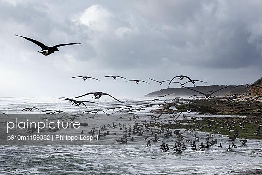 Zugvögel an der Küste - p910m1159382 von Philippe Lesprit