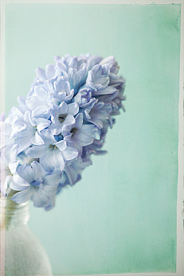 blue hyacinth in bottle - p1470m1559304 by julie davenport
