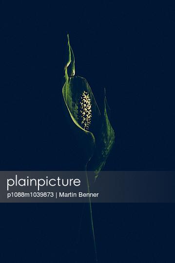 Calla - p1088m1039873 by Martin Benner