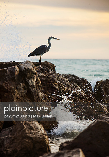 Seabird, an egret perched on top of a rock by the ocean near Barcelona - p429m2190419 by Max Bailen