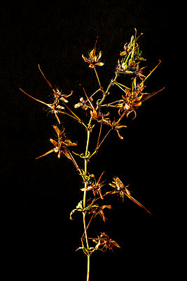 Dried flower seed heads against a black background - p1302m2204341 by Richard Nixon