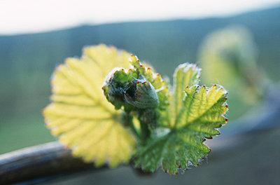 Vine - p2689147 by Edith Lauenstein