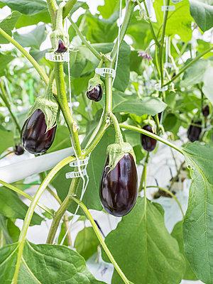 Gewächshaus für den künstlichen und autarken Anbau von Gemüse - p390m2053559 von Frank Herfort