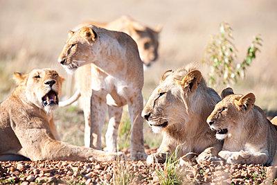 Family of lions - p533m1425583 by Böhm Monika