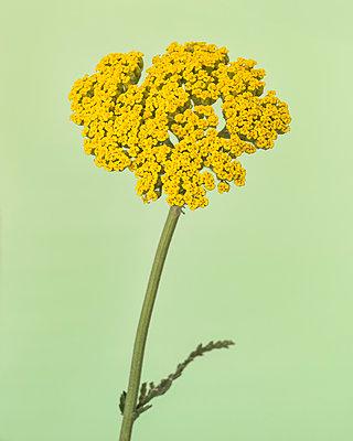 Yellow Yarrow Flower, Achillea millefolium, against Light Green Background - p694m2068725 by Lori Adams