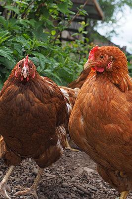 Chicken - p338m2185358 by Marion Beckhäuser