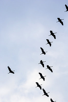 Cranes flying in formation I - p739m831766 by Baertels