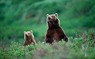 Grizzly Bear mother and cub standing in green foliage - p8840123 by Michio Hoshino