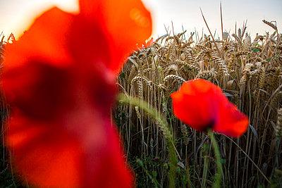 Poppy near cornfield - p1057m925376 by Stephen Shepherd