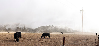 Cattle out at feed in the fog - p1324m1165157 by Michael Hopf
