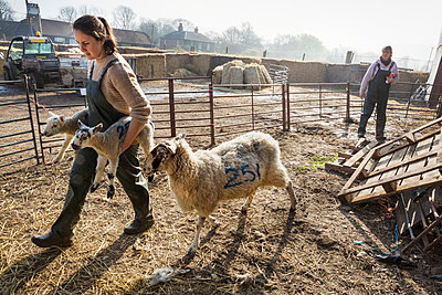 Two women in a sheep pen, one carrying two newborn lambs, an ewe walking alongside her. - p1100m1450927 by Mint Images